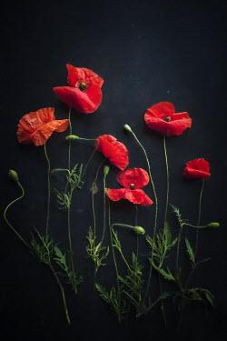 Jane Morley RED POPPIES Flowers