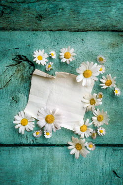 Jane Morley PAPER WITH DAISIES ON TURQUOISE FLOORBOARDS Flowers