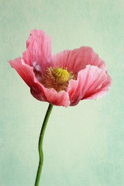 Jasenka Arbanas CLOSE UP OF PINK POPPY Flowers