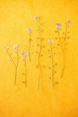 Liz Dalziel pressed white flowers on yellow Flowers