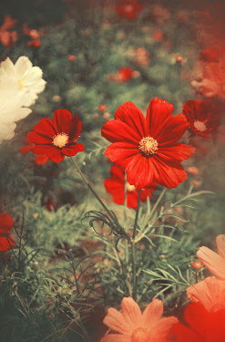 Irene Lamprakou RED AND WHITE WILD FLOWERS Flowers/Plants
