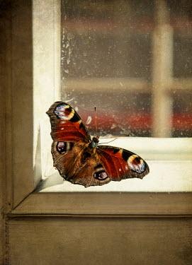 Jaroslaw Blaminsky BUTTERFLY NEAR A WINDOW Insects