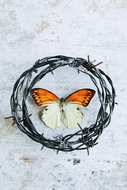 Isabelle Lafrance Butterfly in barbed wire circle