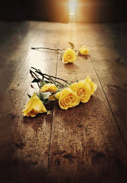 Lyn Randle YELLOW ROSES LYING ON FLOORBOARDS IN HOUSE Flowers