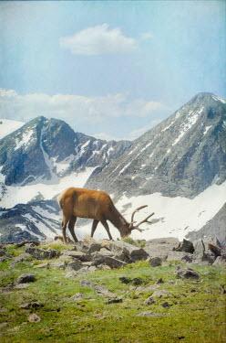 Jill Battaglia ELK GRAZING BY SNOWY MOUNTAINS Animals