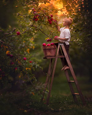 Lisa Holloway Boy using ladder to pick apples