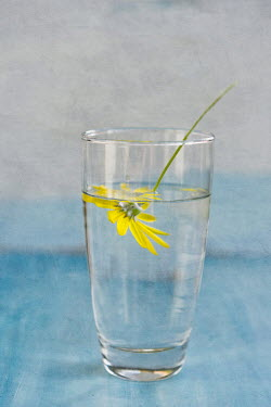 Jill Ferry YELLOW FLOWER IN GLASS OF WATER Flowers