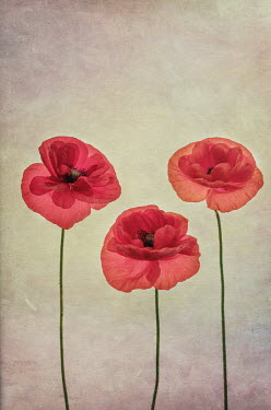 Jill Ferry CLOSE UP OF THREE RED POPPIES Flowers