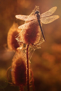 Magdalena Wasiczek Dragonfly on plant in sunlight with cobwebs Insects