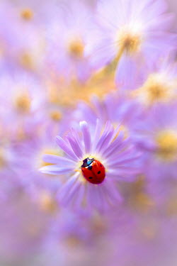 Magdalena Wasiczek LADY BIRD ON PINK FLOWER Insects