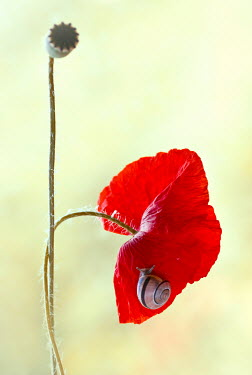 Magdalena Wasiczek Wilting red poppy with snail Flowers/Plants