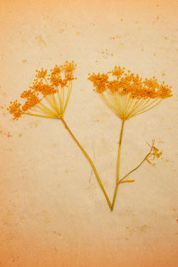 Liz Dalziel CLOSE UP OF PRESSED ORANGE FLOWERS Flowers