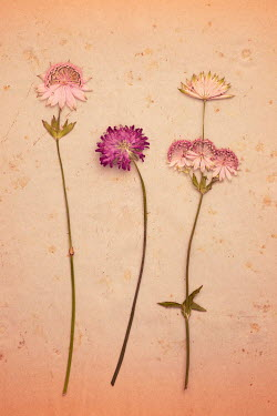 Liz Dalziel CLOSE UP OF PINK PRESSED FLOWERS Flowers