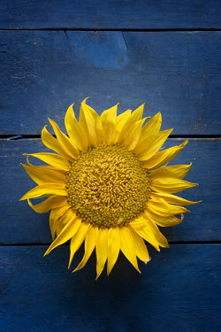 Galya Ivanova Sunflower head on blue background Flowers