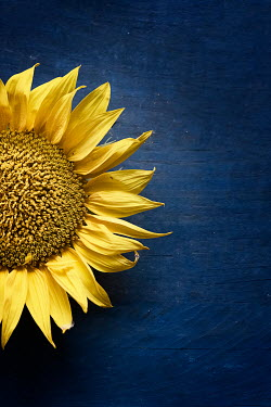 Galya Ivanova Sunflower on blue background Flowers
