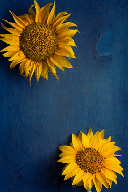 Galya Ivanova Two sunflower heads from above Flowers