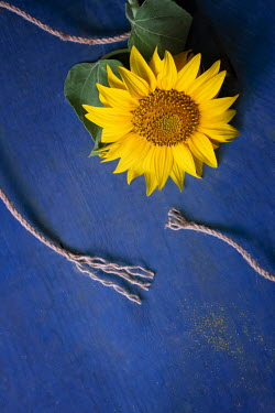 Galya Ivanova SUNFLOWER WITH BROKEN STRING Flowers