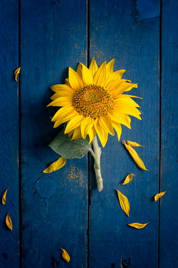 Galya Ivanova Sunflower and fallen petals Flowers