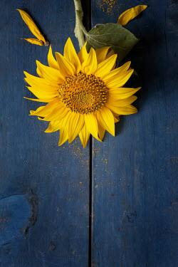 Galya Ivanova Sunflower on blue surface Flowers