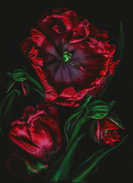 Magdalena Wasiczek close up of withered red tulips Flowers