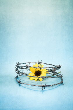 Peter Chadwick sunflower and barbed wire Flowers