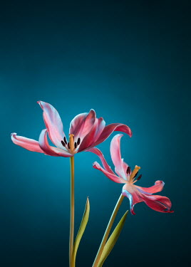 Magdalena Wasiczek Two pink tulips on blue background Flowers
