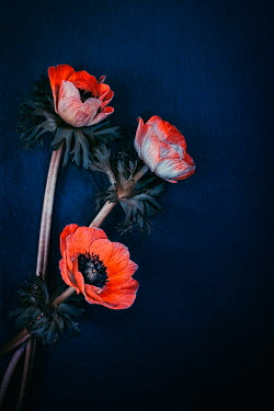 Magdalena Wasiczek Three orange anemones on blue background Flowers