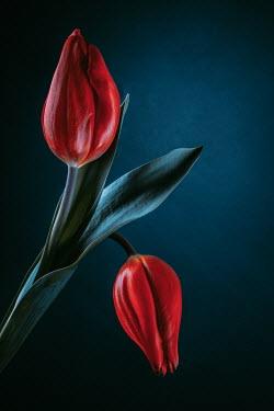 Magdalena Wasiczek two red tulips on dark navy background Flowers