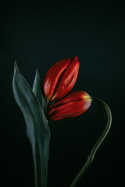 Magdalena Wasiczek two red tulips on black background Flowers