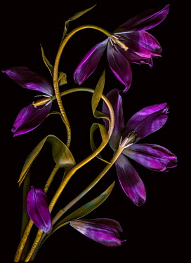 Magdalena Wasiczek three purple tulips on black backgroound Flowers