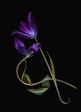 Magdalena Wasiczek two purple tulips on black background Flowers