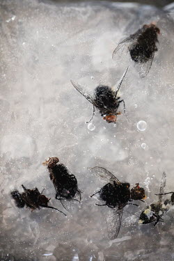 Des Panteva FLIES FROZEN IN ICE FROM ABOVE Insects
