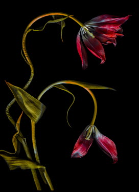 Magdalena Wasiczek WITHERED RED TULIPS Flowers