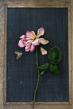 Alison Archinuk dead moth and wilted pink rose on a frame