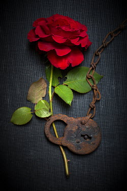Alison Archinuk rusty old padlock and chain on a single red rose