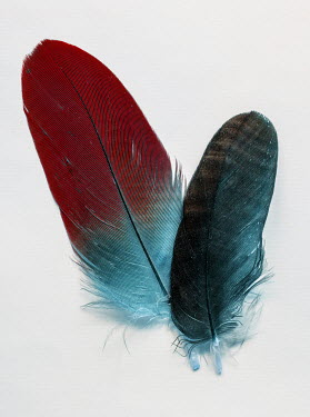 Jaroslaw Blaminsky CLOSE UP OF TWO FEATHERS Miscellaneous Objects