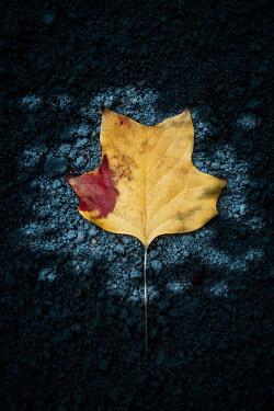 Magdalena Russocka yellow leaf lying on ground