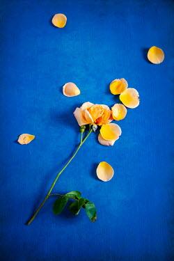 Miguel Sobreira Rose Stem with Loose Petals on Blue Ground
