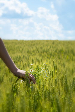 Galya Ivanova Hand of woman holding bunch of daisies in wheat field Women