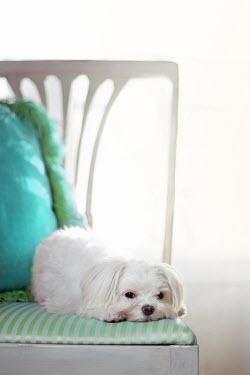 Susan Fox CUTE WHITE DOG LYING ON CHAIR Animals
