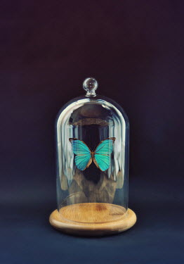 Lyn Randle Butterfly displayed under glass dome