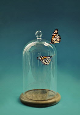Lyn Randle Butterflies and glass dome