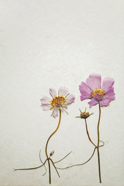 Susan O'Connor Pressed pink flowers