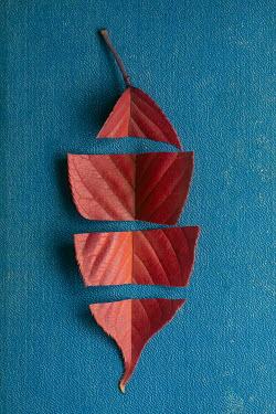 Mohamad Itani Cut red leaf