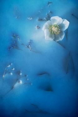 Magdalena Wasiczek White hellebore flower on blue backrgound Flowers