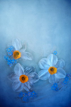 Magdalena Wasiczek Composition with three narcissi and forget-me-nots on blue background Flowers