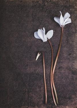 Magdalena Wasiczek Persian cyclamen Flowers