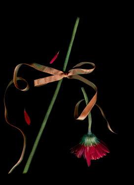 Magdalena Wasiczek broken red flower with golden ribbon