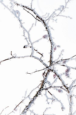Magdalena Wasiczek frozen thorn branches on white background