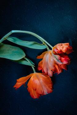 Magdalena Wasiczek close up of two orange tulips